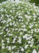 H creeper 975 Plant