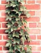 H Creeper 1275 Artificial Plant