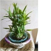 Small Size Bamboo Tree